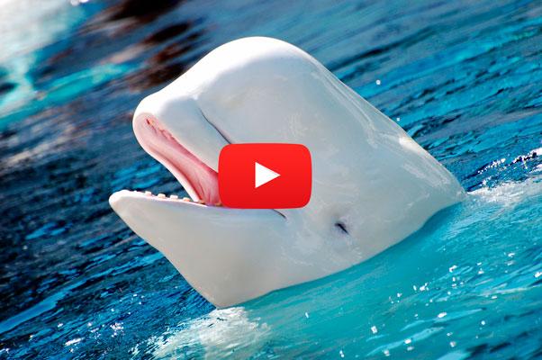 NOC: La beluga blanca (Ballena) que habla con voz humana