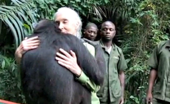 Increíble gesto de gratitud de una chimpancé al despedirse de Jane Goodall, su salvadora