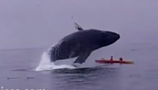 Ballena de 40 toneladas salta y aplasta a dos turistas(Video)