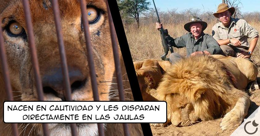 Crían leones EN CAUTIVIDAD para que cazadores disparen A SUS JAULAS en Sudáfrica